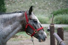 häst som binds upp Royaltyfria Bilder