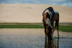 Häst som dricker i ett damm. Jericoacoara Brasilien Arkivfoto