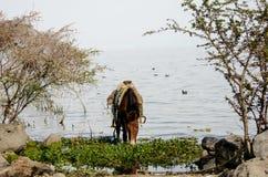 Häst som dricker i sjön Arkivbild