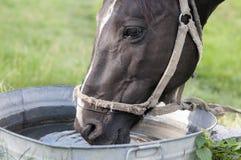 Häst som dricker ut ur ett vatten Arkivbilder