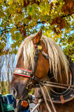 Häst som exploateras till vagnen Royaltyfria Bilder