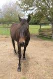 Häst som framåtriktat ser Arkivfoto