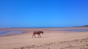 Häst som går på stranden arkivfilmer