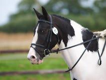 Häst som gör Dressage Fotografering för Bildbyråer