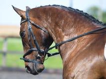 Häst som gör Dressage Royaltyfri Foto