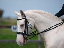 Häst som gör Dressage Royaltyfria Bilder