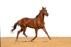 Häst som galopperar på sand på en vit bakgrund arkivfoton