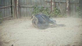 Häst som ligger i paddocken arkivfilmer