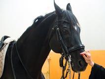 Häst som mottar en smekning royaltyfria bilder