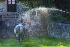 Häst som mottar en vattenstråle i en äng royaltyfria foton