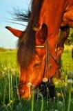 Häst som mumsar gräs royaltyfria bilder
