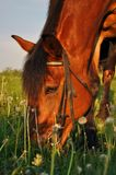 Häst som mumsar gräs royaltyfri bild