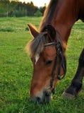 Häst som mumsar gräs arkivbilder