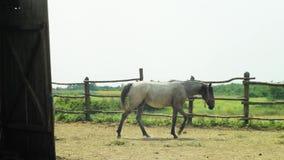 Häst som passerar genom hela skott i en korall lager videofilmer