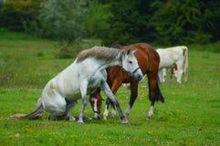 häst som plattforer upp Royaltyfri Fotografi