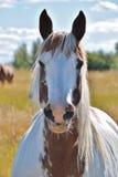 Häst som poserar i en prärie Arkivbilder