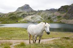Häst som ser dig som betar i berget i Ayous sjöar Arkivfoton