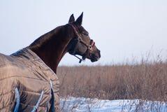 Häst som ser på det gråa torra gräset Fotografering för Bildbyråer