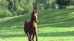Häst som sparkar bakut och kör på paddock