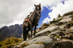 Häst som struggeling med svår terräng i Santa Cruz Trek, Peru Royaltyfri Fotografi