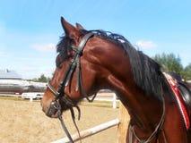 Häst som tillbaka ser på den blåa himlen Arkivbilder