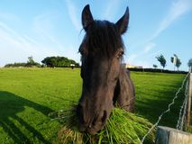 Häst som tuggar tråd för grästräd Arkivbild