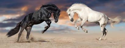 Häst som två fostrar upp royaltyfri foto