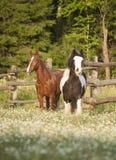 Häst som två tillsammans kör i fält Arkivbilder