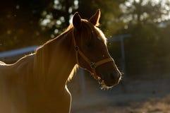 Häst som tycker om solen Fotografering för Bildbyråer