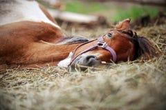 Häst som vilar i höet Arkivfoton
