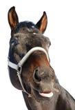 häst som visar tungan royaltyfria bilder