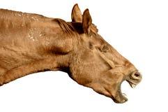 häst som whinnying Arkivbilder