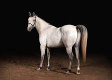Häst Trakehner grå färger färgar på mörk bakgrund med sand Fotografering för Bildbyråer