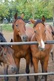 häst tre Arkivbild