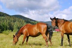 Häst två på ängen Arkivfoto