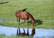 Häst vid strömmen Fotografering för Bildbyråer