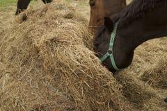 Hästar är matning av sugrörbalen royaltyfri fotografi