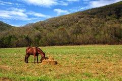Hästar äter hö i ängen Royaltyfri Bild