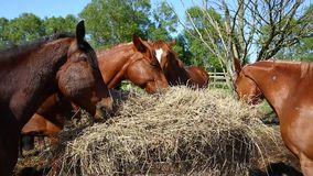 Hästar äter höet