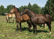 hästar 1 Arkivbilder