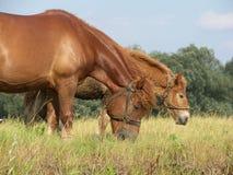 hästar arkivfoto