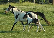 Hästar 61 Royaltyfri Foto
