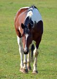 Hästar Arkivbild