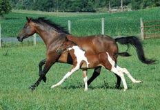 Hästar 104 Fotografering för Bildbyråer