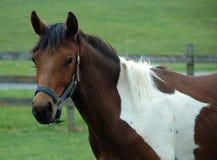Hästar 128 Arkivbilder