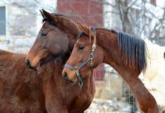 Hästar 132 Arkivbild