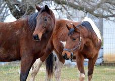Hästar 134 Royaltyfri Fotografi