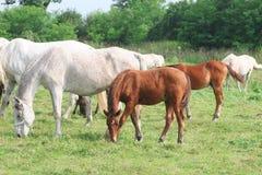hästar Royaltyfri Fotografi