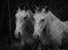 Hästar bak ett staket arkivbild