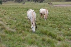 hästar betar Royaltyfria Bilder